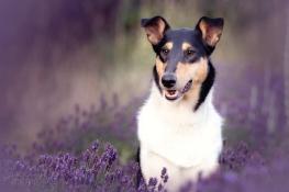 Joshi im Lavendel